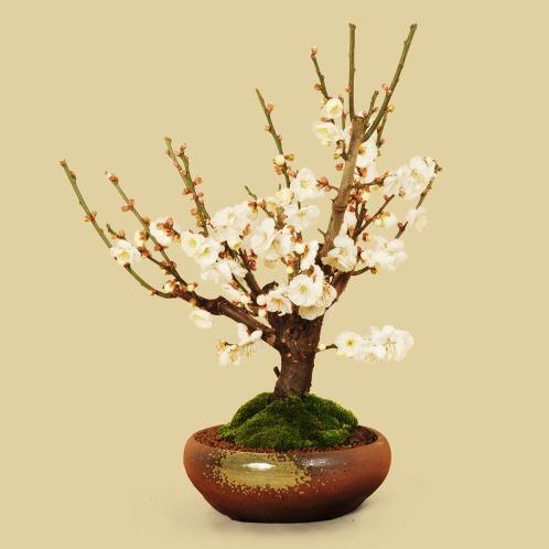 盆栽 白梅