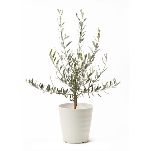 ワールドフラワーサービス オリーブの木<Sサイズ>(生花 お花 コレクターズ・お花)の画像