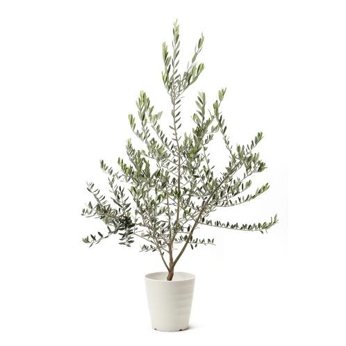 ワールドフラワーサービス オリーブの木<Mサイズ>(生花 お花 コレクターズ・お花)の画像