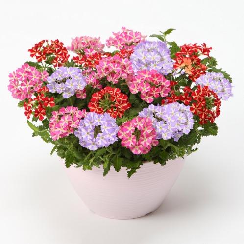 ワールドフラワーサービス バーベナ スター3色ミックス(生花 お花 コレクターズ・お花)の画像