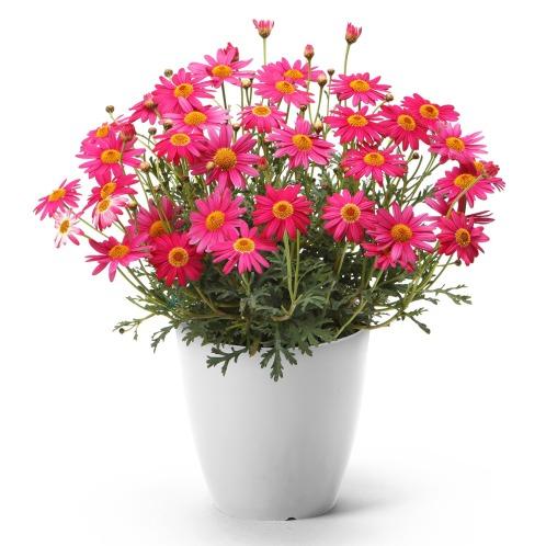 ワールドフラワーサービス マーガレットバースデーイヴ(生花 お花 コレクターズ・お花)の画像