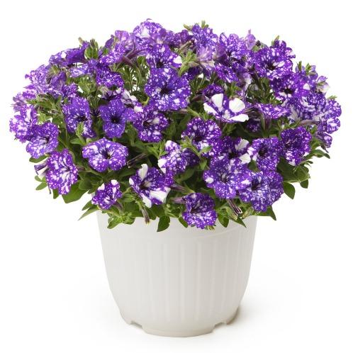 ワールドフラワーサービス ペチュニアナイトスカイ(生花 お花 コレクターズ・お花)の画像