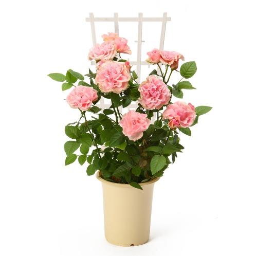 ワールドフラワーサービス バラ ラフィネ(生花 お花 コレクターズ・お花)の画像