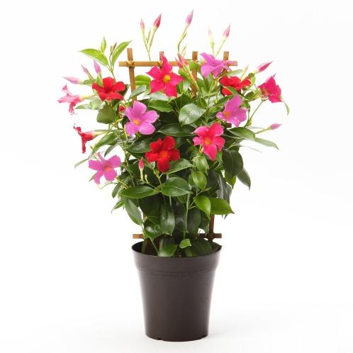 ワールドフラワーサービス ぎゅぎゅっとマンデビラ3色ミックス(生花 お花 コレクターズ・お花)の画像