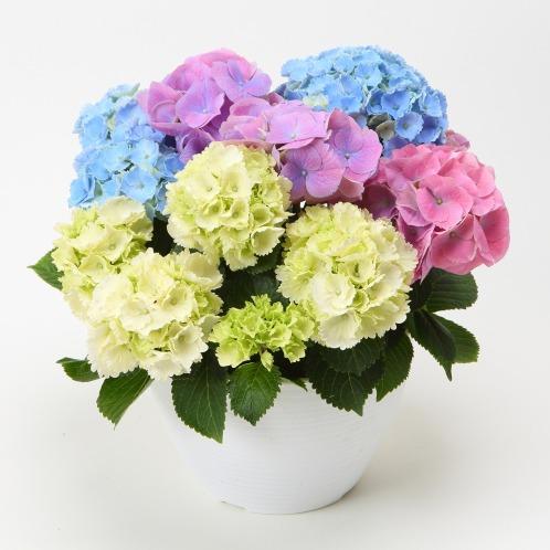 ワールドフラワーサービス カラフルミニあじさい(生花 お花 コレクターズ・お花)の画像