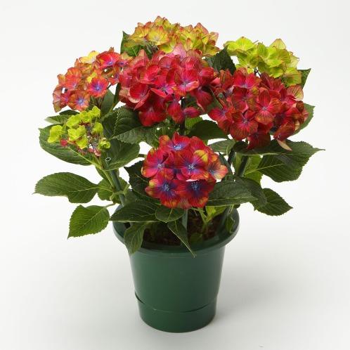 ワールドフラワーサービス 紫陽花ロイヤルグリーン(生花 お花 コレクターズ・お花)の画像