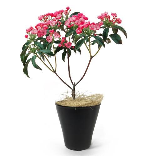 ワールドフラワーサービス カルミア(生花 お花 コレクターズ・お花)の画像