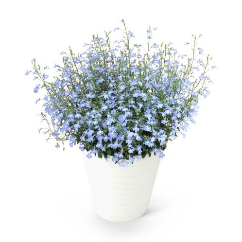 ワールドフラワーサービス ロベリア空色てふてふ 青空ブルー(生花 お花 コレクターズ・お花)の画像